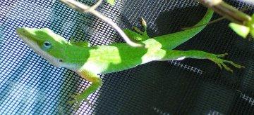 Green Bean Lizard